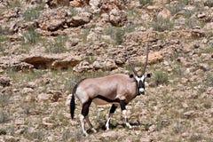 Gemsbok in Kalahari. Gemsbok oryx in the kalahari desert in the Kgalagadi Transfrontier Park in South Africa Stock Photography