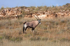 Gemsbok in Kalahari Royalty Free Stock Images