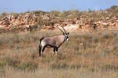 Gemsbok in Kalahari. Gemsbok oryx in the kalahari desert in the Kgalagadi Transfrontier Park in South Africa Royalty Free Stock Images
