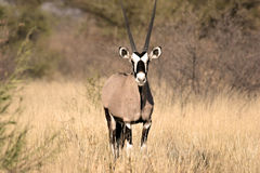 gemsbok Kalahari bliski Obrazy Royalty Free