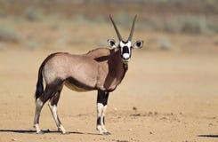 Gemsbok in the Kalahari desert. A Gemsbok (Oryx gazella) standing in the Kalahari desert , in a blurred natural setting, South Africa Stock Images