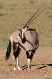 Gemsbok, Kalahari desert, South Africa Stock Images