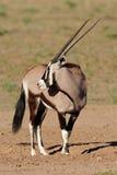 Gemsbok, Kalahari desert, South Africa Stock Images