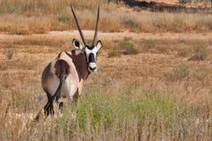 Gemsbok kalahari Stock Images