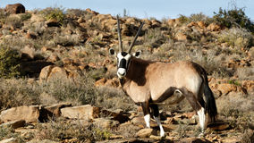 Gemsbok - Karoo National Park. Gemsbok - The Karoo National Park, founded in 1979, is a wildlife reserve in the Great Karoo area of the Western Cape, South Royalty Free Stock Photography