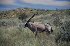 Gemsbok. Kgalagadi Transfrontier Park, Northern Cape, South Africa Royalty Free Stock Image