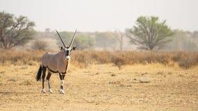 Kalahari Gemsbok Stock Photos