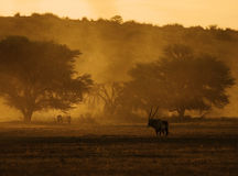 Gemsbok in the Kgalaghadi. Gemsbok in a dusty sunset Stock Images