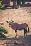 The gemsbok is a large antelope in the Oryx genus. Outdoors. Vin Stock Images