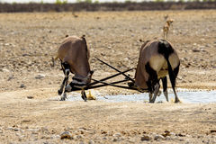 Gemsbok locking horns in a fight. Gemsbok locking horns in a duel Royalty Free Stock Images