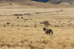 Gemsbok lub gemsbuck oryx odprowadzenie w polu Obraz Royalty Free