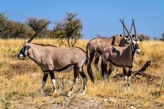 Gemsbok lub Oryx gazella pasanie w Etosha parku narodowym, Namibia, Afryka Obraz Royalty Free