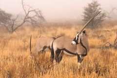 Gemsbok in mist Stock Afbeeldingen