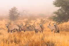 Gemsbok in mist. Gemsbok on an extermely rare misty morning in the Kalahari Desert Royalty Free Stock Images