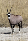 A Gemsbok in Namibia. A young Gemsbok (Oryx) in Etosha National Park in Namibia Stock Photo