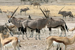 Gemsbok in Namibia Royalty Free Stock Photos