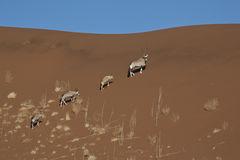 gemsbok Namibia sossusvlei Zdjęcie Royalty Free