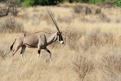 Gemsbok Stock Photography