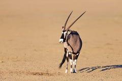 Gemsbok nel deserto fotografia stock
