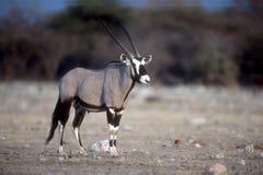 Gemsbok oder Gemsbuck, Oryx Gazella Stockbild