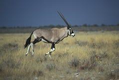 Gemsbok oder Gemsbuck, Oryx Gazella Lizenzfreie Stockbilder