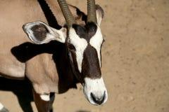 Gemsbok oder Gemsbuck (Oryx Gazella) Stockbild
