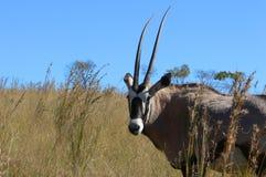 Gemsbok oder Gemsbuck (Oryx Gazella) Lizenzfreie Stockbilder