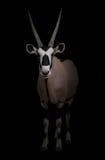 Gemsbok oder Oryx stockfoto