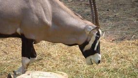 Gemsbok, Onyksowa gazela, dominuj?cy Gemsbok obrazy royalty free