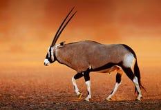 Gemsbok op woestijnvlaktes bij zonsondergang Royalty-vrije Stock Foto's
