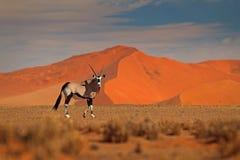 Gemsbok with orange sand dune evening sunset. Gemsbuck, Oryx gazella, large antelope in nature habitat, Sossusvlei, Namibia. Wild royalty free stock photo