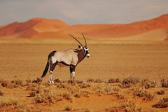 Gemsbok with oraqnge sand dune evening sunset. Gemsbuck, Oryx gazella, large antelope in nature habitat, Sossusvlei, Namibia. Wild stock photo
