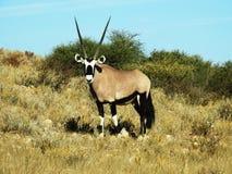 Gemsbok, Orix, Gazella Royalty Free Stock Image