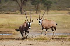 Gemsbok (Ory gazella) absconding after fight. (Kalahari, South Africa Royalty Free Stock Photo