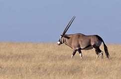 Gemsbok (Oryx) Royalty-vrije Stock Foto