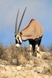 Gemsbok Oryx Stock Image
