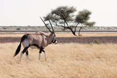 Gemsbok (Oryx) Royalty Free Stock Photos