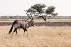 gemsbok oryx Στοκ φωτογραφίες με δικαίωμα ελεύθερης χρήσης
