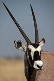 Gemsbok oryx antelope close-up Royalty Free Stock Photos
