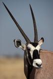 Gemsbok oryx antelope close-up Royalty Free Stock Photos