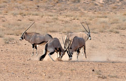 Gemsbok (Oryx) Antelope fight. Male Gemsbok Antelope in the Kgalagadi Transfrontier Park, Southern Africa fighting in the dust to enforce the social structure Stock Photos