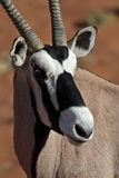 Gemsbok oryx close-up Stock Images