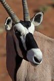 Gemsbok oryx close-up. Gemsbok oryx antelope, red sand dunes of Sossusvlei, Namib desert, Namibia, Southern Africa stock images