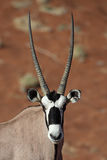 Gemsbok oryx close-up. Gemsbok oryx antelope, red sand dunes of Sossusvlei, Namib desert, Namibia, Southern Africa stock image
