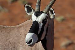 Gemsbok oryx close-up. Gemsbok oryx antelope, red sand dunes of Sossusvlei, Namib desert, Namibia, Southern Africa stock photo