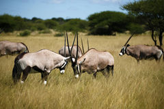 Gemsbok of Oryx die omhoog voor een strijd regelen Royalty-vrije Stock Afbeeldingen