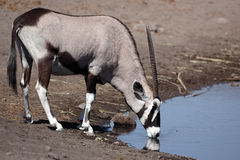 Gemsbok oryx drinking Royalty Free Stock Images