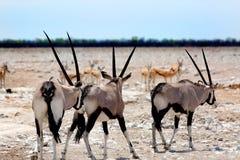 Gemsbok Oryx in Etosha mit Springbock Lizenzfreie Stockfotos