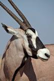 Gemsbok oryx, Etosha, Namibië Royalty-vrije Stock Fotografie