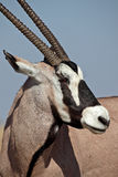 Gemsbok oryx, Etosha, Namibia Royalty Free Stock Photography